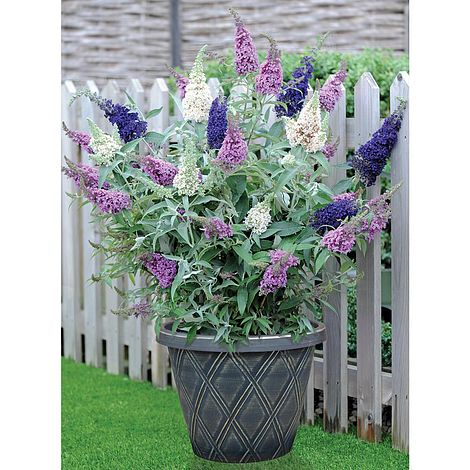 Best Butterfly Bush