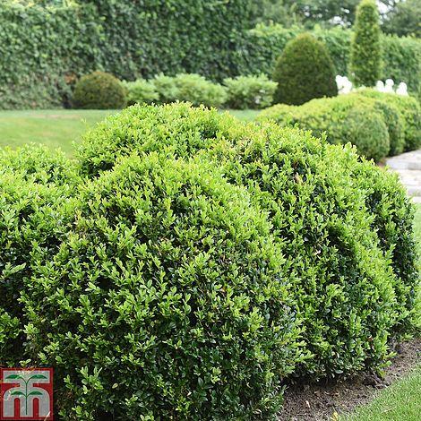 buxus sempervirens plants thompson morgan. Black Bedroom Furniture Sets. Home Design Ideas