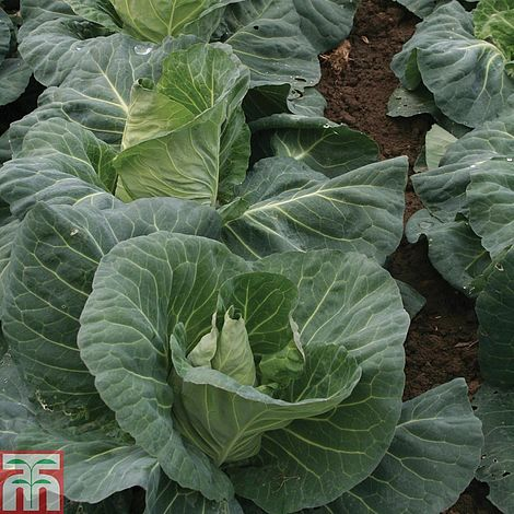 Cabbage Merlin F1 Hybrid Seeds Thompson Amp Morgan