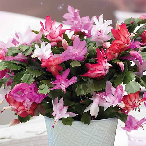 Christmas Cactus - Gift | Thompson & Morgan