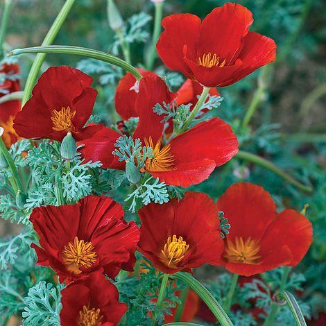 Californian Poppy Red Chief Eschscholzia Californicacalifornia