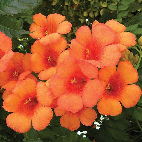 Campsis X Tagliabuana Indian Summer Plants Thompson