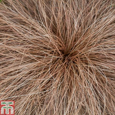 carex comans bronze-leaved (new zealand hair sedge). carex \'bronze ...