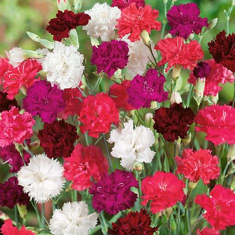 6c665f37c539 Dianthus  Ever-blooming Mixed  (Hardy) plug plants