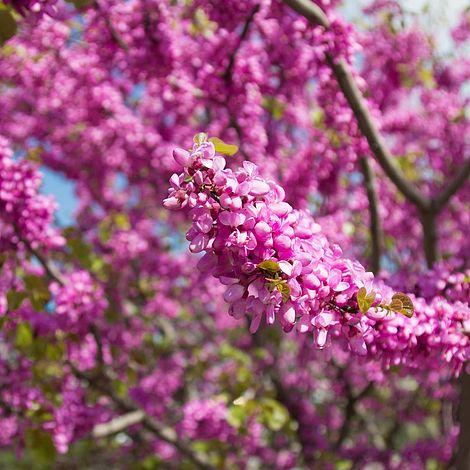 Cercis Siliquastrum Plants Thompson Morgan