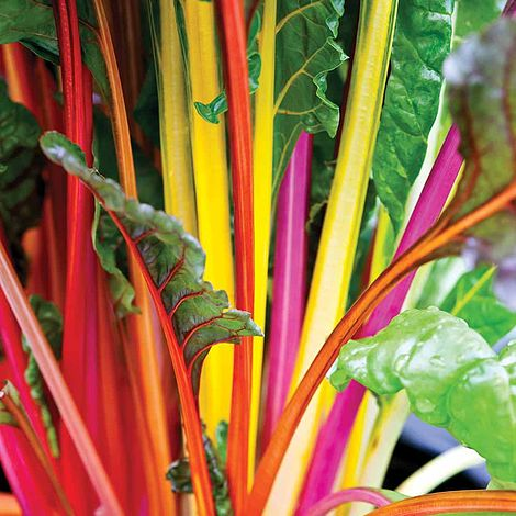 Swiss Chard Bright Lights Seeds Thompson Morgan