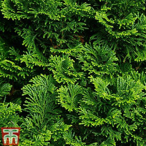 chamaecyparis obtusa 39 nana gracilis 39 plants thompson. Black Bedroom Furniture Sets. Home Design Ideas