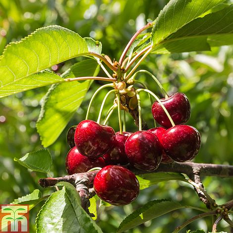 Images Cherry Fruit Tree