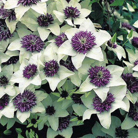 clematis florida 39 sieboldii 39 thompson morgan. Black Bedroom Furniture Sets. Home Design Ideas