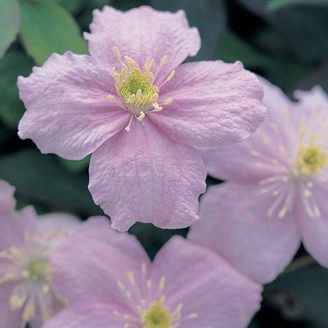 clematis montana 39 mayleen 39 plants thompson morgan. Black Bedroom Furniture Sets. Home Design Ideas