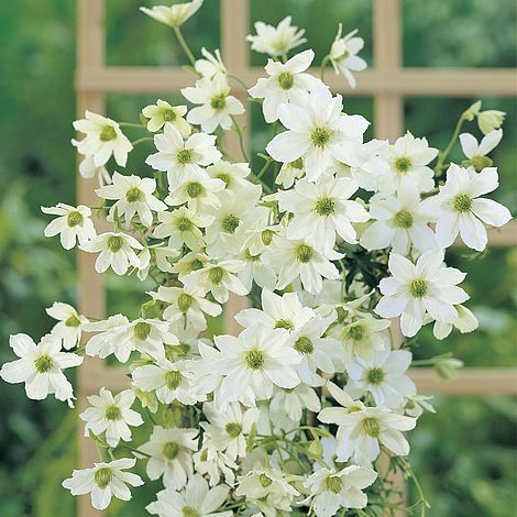 clematis 39 early sensation 39 plants thompson morgan. Black Bedroom Furniture Sets. Home Design Ideas