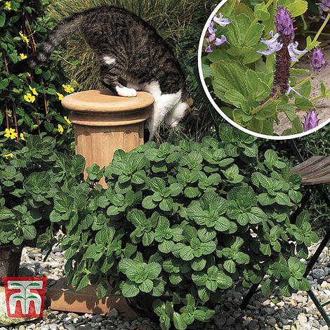 Coleus Canina Scaredy Cat Solenostemon Scutellarioidespainted Nettle Blumei Var Verschaffeltii
