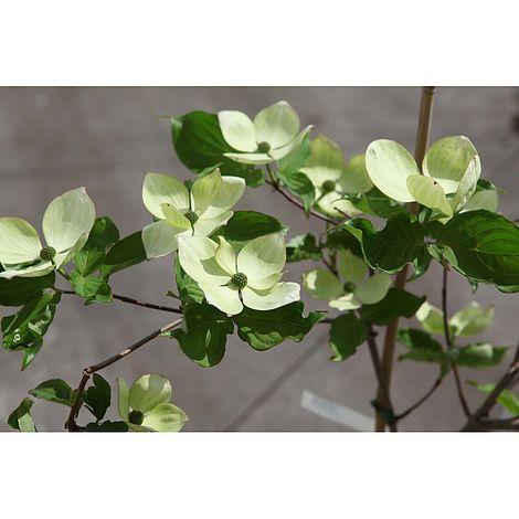 cornus kousa 39 venus 39 plants thompson morgan. Black Bedroom Furniture Sets. Home Design Ideas