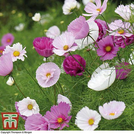 15 Seeds Annual Cosmos bipinnatus Cupcakes Mixed