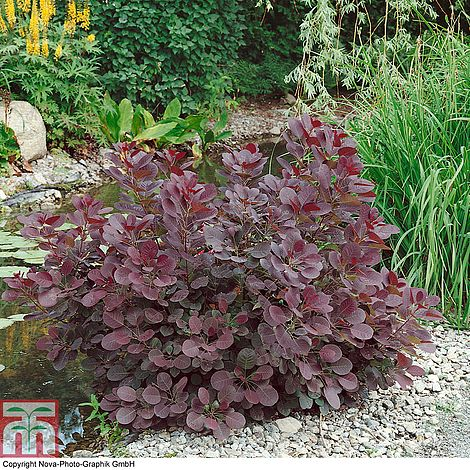 Best Work Gloves >> Cotinus coggygria 'Royal Purple' plants | Thompson & Morgan