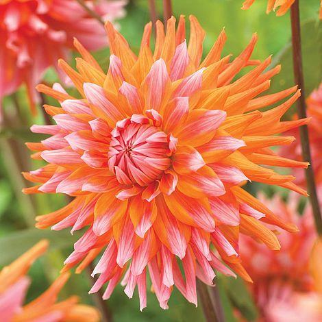 Dahlia Orange Turmoil Thompson Amp Morgan