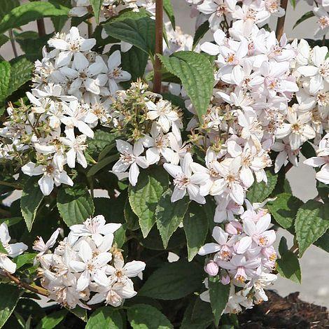 deutzia x hybrida 39 mont rose 39 plants thompson morgan. Black Bedroom Furniture Sets. Home Design Ideas