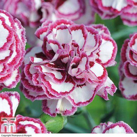 91609b0cda25 Dianthus  Gran s Favourite  plug plants