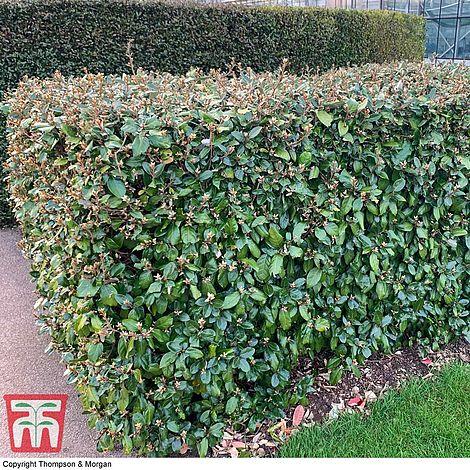 Elaeagnus Ebbingei Hardy Shrub Plant 1 x 3.6 Litre Potted Plant T/&M