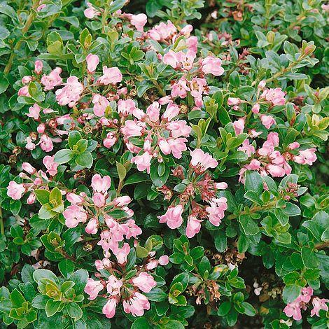 Escallonia 39 apple blossom 39 plants thompson morgan for Large flowering shrubs