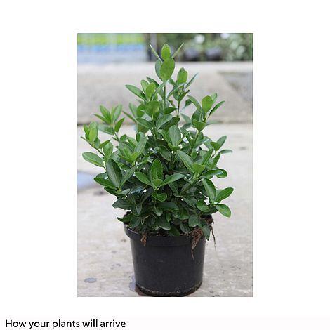 Euonymus Japonicus Plants Thompson Amp Morgan