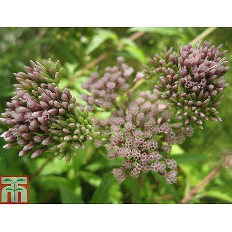 Garden Pond Plant Hemp Agrimony Eupatorium cannabinum Flowering Perennial X 5