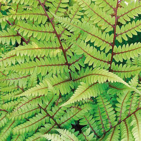 Fern Fantastic Vidalii Plants Thompson Morgan