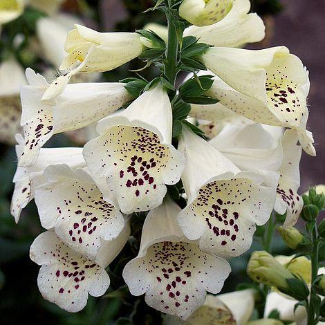 Foxglove Camelot Cream Plants Thompson Amp Morgan