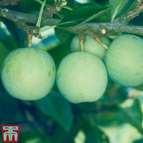 Gage Old Greengage Prunus Domestica