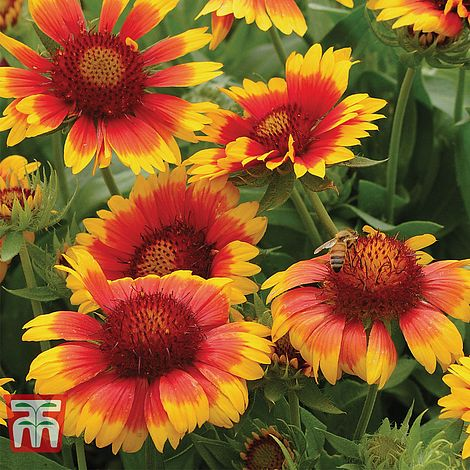 Gaillardia Mesa Bright Bicolour Thompson Morgan