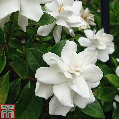 Gardenia crown jewels plants thompson morgan mightylinksfo