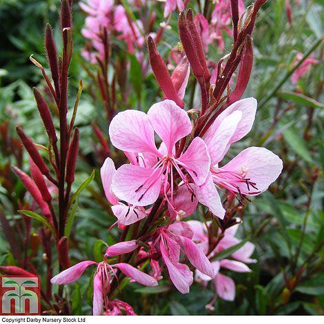 Gaura Lindheimeri Passionate Blush Plants Thompson