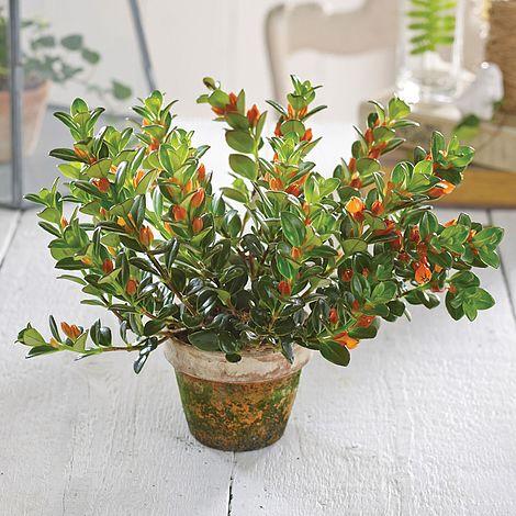 Goldfish Plant (Nematanthus) - Christmas Gift | Thompson & Morgan