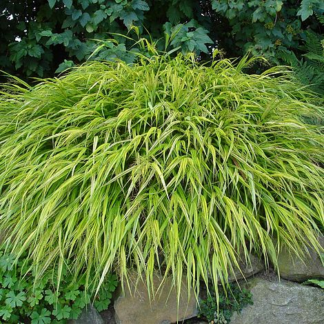 Hakonechloa macra 39 aureola 39 plants thompson morgan for Grasses planting scheme
