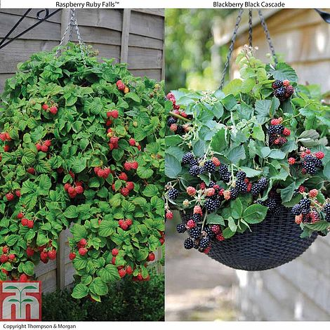 Hanging Basket Berry Collection Plants Thompson Amp Morgan
