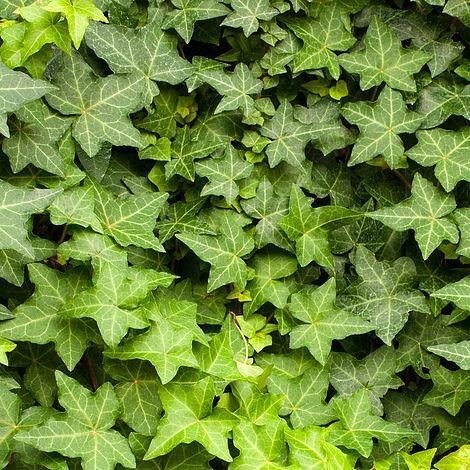 Hedera Hibernica Plants Thompson Amp Morgan