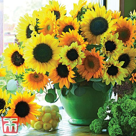 Sunflower Van Gogh Thompson Morgan