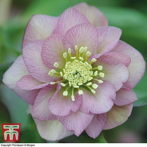 Hellebore Double Pink Thompson Morgan
