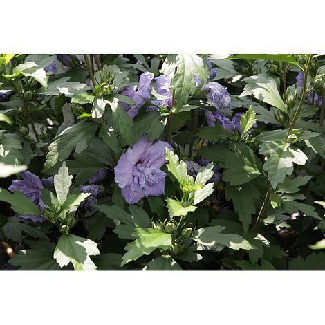 Hibiscus Syriacus Blue Chiffon Plants Thompson Morgan