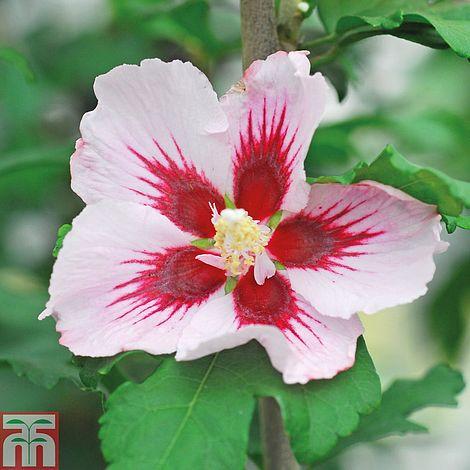 Hibiscus Syriacus Hamabo Thompson Morgan