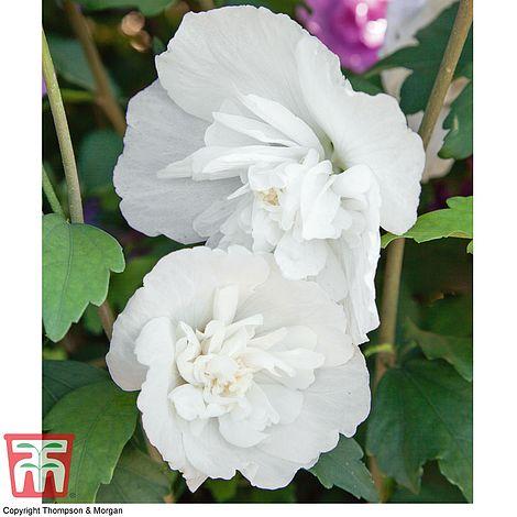 Hibiscus Syriacus White Pillar Thompson Morgan