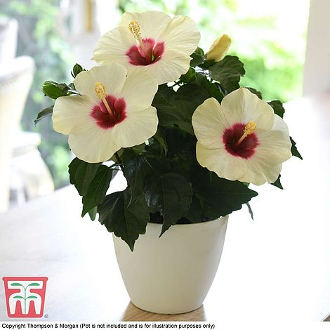 Hibiscus Rosa Sinensis Adonicus White Thompson Morgan