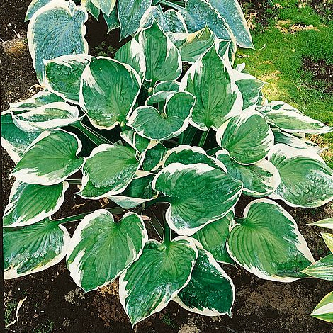 Hosta Minuteman Plants Thompson Morgan
