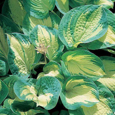 Hosta Great Expectations Plants Thompson Morgan