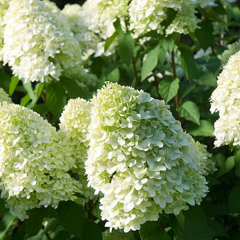 hydrangea paniculata 39 limelight 39 plants thompson morgan. Black Bedroom Furniture Sets. Home Design Ideas