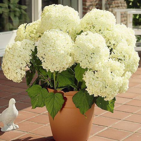 Hydrangea arborescens 'Annabelle'Sevenbark