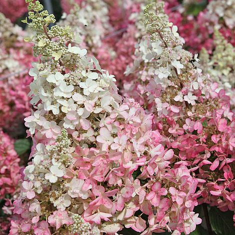 hydrangea paniculata 39 pinky winky 39 plants thompson morgan. Black Bedroom Furniture Sets. Home Design Ideas