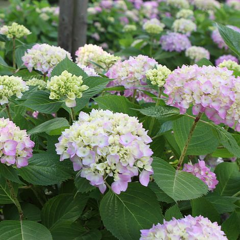 Hydrangea macrophylla \'Endless Summer - The Original\' plants ...