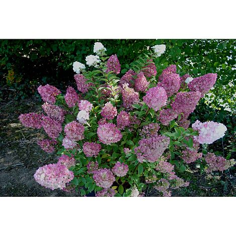 Hydrangea paniculata \'Sundae Fraise\' plants | Thompson & Morgan