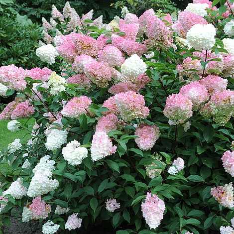 hydrangea paniculata 39 vanille fraise 39 plants thompson morgan. Black Bedroom Furniture Sets. Home Design Ideas